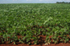 Brazil / Brasil - Dourados: soya fields / campos de soja (photo by Marta Alves)