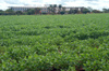 Brazil / Brasil - Dourados: soya fields and Dourados Park Hotel / campos de soja - agricultura (photo by Marta Alves)