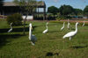 Brazil / Brasil - Dourados: herons by the bus terminal / garças - terminal (photo by Marta Alves)