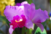 Cotia, SP, Brazil: magenta Orchid at Rosel�ndia | Orqu�dea magenta na Rosel�ndia - photo by L.Moraes