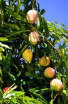 Olinda, Pernambuco, Brazil: mangos hanging on a mango tree - fruit and green leaves against a blue sky - Travessa de São Francisco - photo by M.Torres