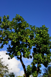 Olinda, Pernambuco, Brazil: breadfruit tree and blue sky - Travessa de São Francisco - photo by M.Torres
