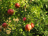 Sozopol: Pomegranate - Punica granatum - romã (photo by J.Kaman)