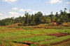 Gitega province, Burundi: valley with verdant crops flanked by eucalyptus - agriculture in Burundi�s central plateau - photo by M.Torres