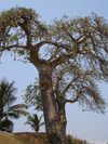 Cabinda - Cabinda - Malongo: baobab tree - / arvore - embondeiro - photo by A.Parissis