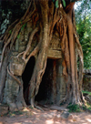 Angkor, Cambodia / Cambodge: Anglor Wat - the tropical jungle takes over - roots of a silk cotton tree - photo by Miguel Torres