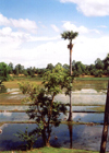 Angkor, Cambodia / Cambodge: rice fields in Lolei - Roluos group - photo by Miguel Torres