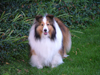 Niagara Falls, Ontario, Canada / Kanada: Sheltie - Shetland Sheepdog - photo by R.Grove