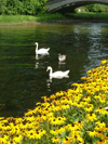 Toronto, Ontario, Canada / Kanada: swans - Centre Island - photo by R.Grove