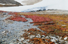 Canada - Resolute bay (Nunavut): snow and spring vegetation (photo by G.Frysinger)