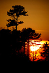 Canada - Ontario - Lake Superior: pinetrees at sunset - photo by R.Grove