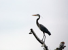 Canada - Ontario - Great Blue Heron perched - Ardea herodias - fauna - photo by R.Grove