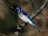 Canada - Ontario - Blue jay sits - Cyanocitta cristata - fauna - photo by R.Grove