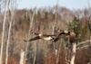 Canada - Ontario - Geese in flight - fauna - photo by R.Grove