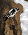 Canada - Ontario - female Downy Woodpecker, Picoides pubescens - fauna - photo by R.Grove