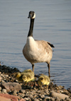 Canada - Ontario - goose with chicks - fauna - photo by R.Grove