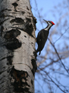 Canada - Ontario - Pileated Woodpecker on a tree - Log Cock - Dryocopus pileatus - fauna - photo by R.Grove
