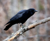 Canada - Ontario - Common raven on limb - Corvus corax - fauna - photo by R.Grove