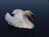Canada - Ontario - Mute Swan - Cygnus olor - fauna - photo by R.Grove
