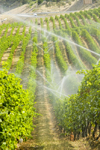 Okanagan Valley, BC, Canada: scenic vineyards - sprinkler irrigation - Canada is becoming a wine country - photo by D.Smith