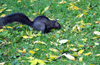 Toronto, Ontario, Canada: black squirrel - melanistic subgroup of the Sciurus carolinensis - Harbour Square Park - photo by M.Torres