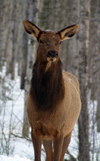 Canada / Kanada - Saskatchewan: close up of a elk, or wapiti - Cervus canadensis - scenic Northern Canada - photo by M.Duffy