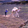 Lanzarote, Canaries: camel ploughing - agriculture in volcanic soil - photo by A.Bartel