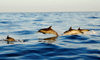 Fogo island - Cape Verde / Cabo Verde: dolphins in the Cape Verde waters - photo by E.Petitalot