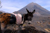 Fogo natural park, Fogo island - Cape Verde / Cabo Verde: donkey in front of Pico do Fogo volcano - photo by E.Petitalot