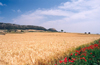 Catalonia / Catalunya - Foradada, Noguera, Lleida province: the blond fields of Catalonia - wheat field and poppies - agriculture - cereal - photo by Miguel Torres