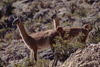 Atacama desert, Atacama region, Chile: the Guanaco are a wild relative of the llama and are seen here in the high altitude - Lama guanicoe – camelid - photo by C.Lovell