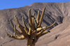 Atacama desert, Atacama region, Chile: this Candelabra Cactus grows in the extremely dry lower elevations of the Atacama desert of Northern Chile - photo by C.Lovell