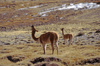 Lauca National Park, Arica and Parinacota region, Chile: vicuna drinking water on the �bofedales� - swampy grasslands � Vicugna vicugna - photo by C.Lovell