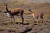 Lauca National Park, Arica and Parinacota region, Chile: mother and baby vicuna prosper on the high altitude grasslands, above 11,000 feet - World Biosphere Reserve - Norte Grande - photo by C.Lovell