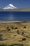 Lauca National Park, Arica and Parinacota region, Chile: alpacas graze below Mt. Sajama (21,484 ft) on the shores of Lago Chungar� � Norte Grande - photo by C.Lovell