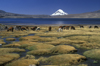 Lauca National Park, Arica and Parinacota region, Chile: alpacas graze at 4.500 m on the swampy shores of Lago Chungar�, below Mt. Sajama - Norte Grande - photo by C.Lovell