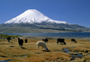 Lauca National Park, Arica and Parinacota region, Chile: alpacas graze on the verdant shores of Lago Chungar�, below Mt. Parinacota (20,800 ft) - Norte Grande - photo by C.Lovell
