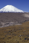 Lauca National Park, Arica and Parinacota region, Chile: mixed herd of wild vicuna and domesticated alpaca graze below Mount Parinacota - Norte Grande - photo by C.Lovell