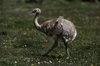 Torres del Paine National Park, Magallanes region, Chile: �andu walking on the grass - lesser rhea, Pterocnemia pennata, ostrich-like flightless bird of southern Patagonia - photo by C.Lovell
