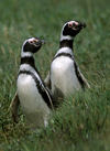 Otway Sound, Magallanes region, Chile: Magellanic penguins mate for life, like this couple in the Seno Otway Colony � Spheniscus magellanicus - Chilean Patagonia - photo by C.Lovell