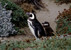 Otway Sound, Magallanes region, Chile: Magellanic penguins - parent with baby - Seno Otway rookery - Spheniscus magellanicus - Chilean Patagonia - photo by C.Lovell
