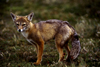 Torres del Paine National Park, Magallanes region, Chile: red fox - Pseudalopex culpaeus- Patagonian fauna - photo by C.Lovell
