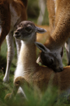 Torres del Paine National Park, Magallanes region, Chile: baby guanaco gets a caress from mum - Lama guanicoe - Patagonian fauna - photo by C.Lovell