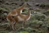 Torres del Paine National Park, Magallanes region, Chile: mating guanacos in the Patagonian steppe - Lama guanicoe copulating - photo by C.Lovell