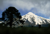Villarrica Volcano National Park, Araucanía Region, Chile: Araucaria tree silhouette and snow covered Lanin Volcano - Araucaria Araucana - Lake District of Chile - photo by C.Lovell