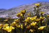Chile - Atacama Desert: dunes and yellow flowers - Desierto Florido - dunas y flores amarillas - photo by N.Cabana