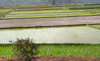 China - Hainan Island: rice fields (photo by G.Friedman)