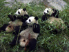 199 China - Chengdu (capital of the Sichuan province): Panda Breeding and Research Center - Pandas and bamboo (photo by M.Samper)