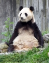 China - Sichuan Province: Giant panda / Ailuropoda melanoleuca - Wolong Scientific Center for Panda Research and Preservation, in the mountains near Chengdu - pandas - Sichuan Giant Panda Sanctuaries - UNESCO world heritage site (photo by  G.Frysinger)