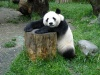 China - Sichuan Province: Giant panda / Ailuropoda melanoleuca - Wolong Scientific Center for Panda Research and Preservation, in the mountains near Chengdu (photo by  G.Frysinger)